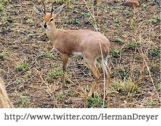 South Africa: Steenbuck in the Kruger National Park
