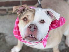 TO BE DESTROYED - 03/08/15 Brooklyn Center -P  My name is TRINITY. My Animal ID # is A1029004. I am a female tan and white pit bull mix. The shelter thinks I am about 5 YEARS old.  I came in the shelter as a OWNER SUR on 02/27/2015 from NY 11207, owner surrender reason stated was NO TIME. https://www.facebook.com/photo.php?fbid=972952362717643