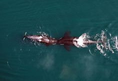 In an exhibit of playful behavior, two killer whales nuzzle head-to-head. Learn how scientists use UAV technology to A recently published journal article describes how scientists used an unmanned aerial vehicle to get an entirely new view of a threatened population of killer whales.