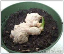 """Simply lay the ginger root on the top of the potting soil to """"plant"""" it."""