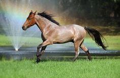 Marchadors InMotion - Mangalarga Marchador Horses - Junior Stallion - BRIOSO