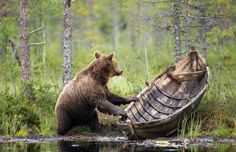 Finnish Nature - Veneilijä (Boater) by Ilkka Niskanen. (I am so curious to know what is going on here! Is the bear coming ashore or preparing to leave? So whimsical! Nature Animals, Animals And Pets, Funny Animals, Cute Animals, Bear Pictures, Funny Animal Pictures, Black Bear, Brown Bear, Animal Antics