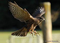 New Zealand Falcon Falco novaeseelandiae - Google zoeken