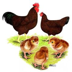 Rhode Island Red Chickens Free Shipping@ eFowl.com