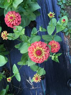 Zinnia - Queen Pink Red lime