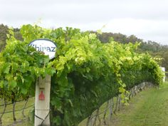 The Shiraz vines at Boireann Wines are carefully netted, after a neighbour's cow wandered in and polished off Peter Stark's precious fruit!  With frosts and heavy rain, no wonder Boireann are producing a limitied amount of wine that gets snapped up quickly. winegroover.com