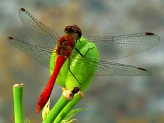 Dragonfly Dragonfly Photos Dragonfly Tattoo Lion With Wings within Red Dragonfly Tattoo - Fashion Style Ideas Dragonfly Drawing, Dragonfly Tattoo, Lion With Wings, Dragonfly Photos, Gossamer Wings, San Diego Tattoo, Flying Insects, Beneficial Insects, Butterfly Wings