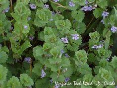 Ground Ivy/VT