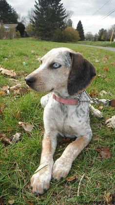 treeing walker couonhound photo | Theia the Bluetick Coonhound Treeing Walker Coonhound Mix | Mix Breed ...