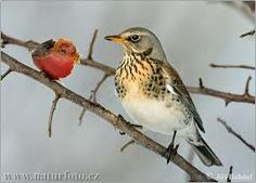 fieldfare - song like a triple quack