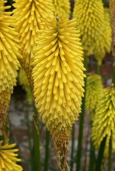 Kniphofia 'Wrexham Buttercup' by Sericea, via Flickr