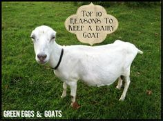 Top 10 Reasons to Keep a Dairy Goat.   Look at the cute little Lamancha with no ears!