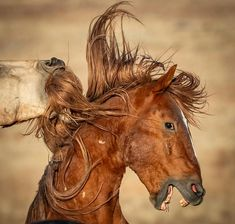 When I'm out with the horses, I try not to pick favorites as I don't want to bias my views of their behavior. But, it inevitably happens… All The Pretty Horses, Beautiful Horses, Horse Head, Horse Art, Horse Markings, Horse Anatomy, Westerns, Horse Portrait, Wild Mustangs