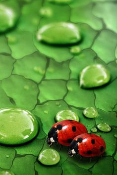 water drops n lady bugs
