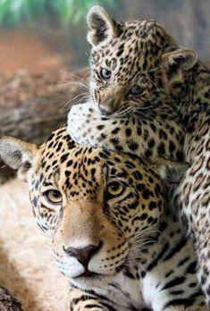 Kostenloses Bild auf Pixabay  Leopard Tier Katze Gepard Amur