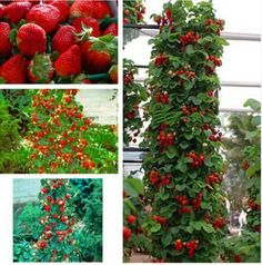 2016 Direct Selling Indoor Plants strawberry Seeds Rare Color Seed Fruit Seeds Home Garden Diy For Bonsai 200pcs #clothing,#shoes,#jewelry,#women,#men,#hats,#watches,#belts,#fashion,#style