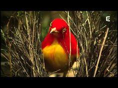 Les Oiseaux Papous - YouTube