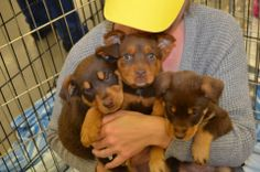 Irish litter are available for adoption from LCAS.  http://LakeCountyAnimalServices.org