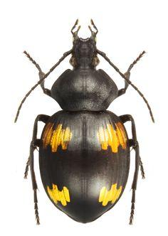 Craspedophorus laevipennis