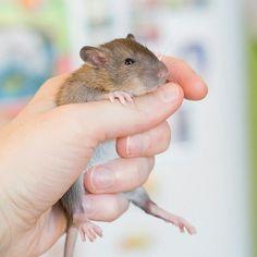 Мальчишка 😘 #крыса #крысы #фотосет #animalphoto #rat #rats