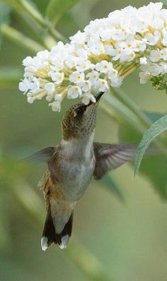 Spring flowers and  Hummingbird