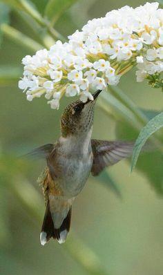 Spring flowers and  Hummingbird