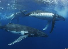 Magnificent Underwater Photos of the Humpback Whale - My Modern Metropolis