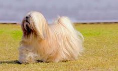 The brush is an important kit for Dog Grooming. This brush can be used to take care of dog coats. Since the coats of Lhasa Apso breed dog are too long so lose hair get trapped inside the deep hair. Then brushing is necessary to remove these hairs. Calm Dog Breeds, Top Dog Breeds, Cute Dogs Breeds, Best Dog Breeds, Best Dogs, Lhasa Apso, The Animals, Teach Dog Tricks, Dumb Dogs