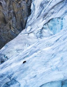 A black bear (Ursus americanus) walks up Exit Glacier in Kenai Fjords National Park in Alaska.