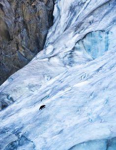 A black bear (Ursus americanus) walks up Exit Glacier in Kenai Fjords National Park in Alaska.