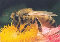 HONEY BEES | Honeybee on Flower
