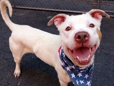 STEELO - A1079757 - Manhattan - Publicly Adoptable Please Share: TO BE DESTROYED 07/16/16 A volunteer writes: From his curled up tail in the shape of a powdered sugar donut, to his impish little smiling face, I'm in love with this guy. His coat is a gorgeous cream color, his eyes match a couple of caramel color patches on his coat (one on the side of his cheek that I've made my kissing target), and his fun, friendly, sweet personality radiates from everything he does. He's housetrained, good…