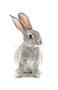 Image of animal, background, being - 33566587 : Rabbit. Grey rabbit on a white background , Cute Baby Animals, Animals And Pets, Funny Animals, Rabbit Pictures, Animal Pictures, Bunny Art, Cute Bunny, Bunny Painting, Rabbit Art