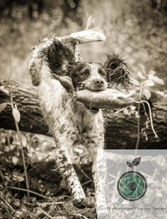 Springer Spaniel - Ravenshall Gundogs - www.kaythompson.co.uk