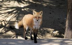 Did you know, the red fox's hearing range allows them to hear and dig for prey in the ground? 🦊 Check out the forest or dunes on BHI if you're looking to see one! Forest Habitat, Bald Head Island, Red Fox, Wildlife Photography, Habitats, Range, Tours, Beach, Check