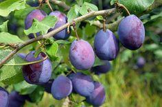 Plum, Fruit, Garden, Bar, Garten, Lawn And Garden, Gardens, Gardening, Outdoor