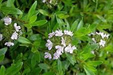 "Satureja montana. ""Winter savory is an excellent companion plant. Beans grow better when planted next to winter savory and, when planted under roses, winter savory helps to keep mildew and aphids at bay."""