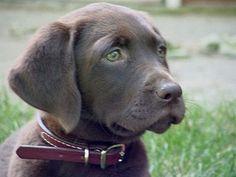 Chocolate Labrador With Green Eyes