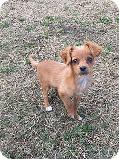 Orange, CA - Spaniel (Unknown Type)/Chihuahua Mix. Meet Widdle, a puppy for adoption. http://www.adoptapet.com/pet/17318431-orange-california-spaniel-unknown-type-mix