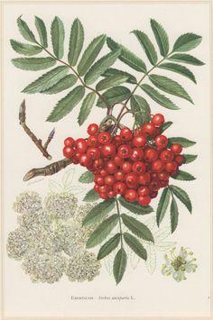 1960 Vintage Botanical Print, Sorbus aucuparia, Rowan, Mountain-ash, Flora…