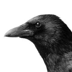 crow  by Dreyria