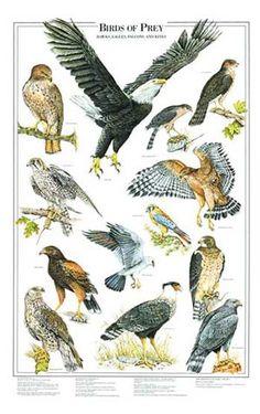 Birds of Prey Volume I. Via Charting Nature. http://www.chartingnature.com/poster.cfm/birds-of-prey-bird-poster/155