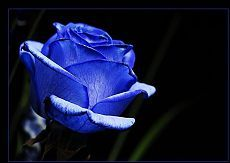 58811001resim_gul-resimleri-mavi-gul.jpg (790×559)