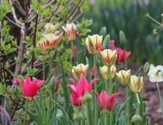 Tulip mixture