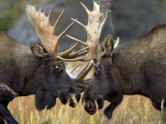 """Don't mess with the Mooses!"" Close-up of Two Moose Locking Horns and Fighting (Alces Alces)"