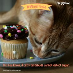 """Cupcakes don't impress meowwrr much! So, cats don't like sugar and spice and everything nice? And that's because they do not have the genetic """"hardware"""" needed to taste sweets. Sugar And Spice, Bond, Muffin, Spices, Hardware, Cupcakes, Sweets, Cats, Sweet Pastries"""