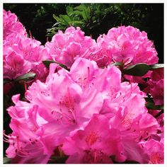 Rhodedendrons Rule East Quogue NY Garden