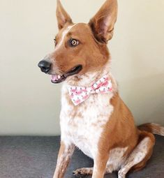 Bennie and his fox bow tie! I see a bit of resemblance :) Bow Ties, Dog Cat, Corgi, Fox, Pets, Trending Outfits, Unique Jewelry, Handmade Gifts, Vintage