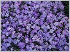 Spring perennials - what to shop for at your local garden centre Spring Perennials, Shade Perennials, Flowers Perennials, Landscape Ground Cover, Creeping Phlox, Flower Beds, Houseplants, Shrubs, Garden Centre