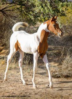 Kr Majestic Storm Baby Horses, Horses And Dogs, Wild Horses, Show Horses, Appaloosa Horses, Arabian Horses, American Saddlebred, Horse World, Horse Tips